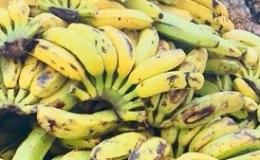 DONATION DE FRUITS ET LEGUMES DE NOTRE EXPLOITATION, AUX PERSONNES ÂGÉES DE LA PAROISSE DE BEJUCAL ACUBA.