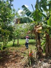 récolte fruits petits coeurs de Cuba Centre Miséricorde divine El Chico4